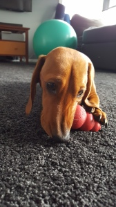 Fritz the sausage dog